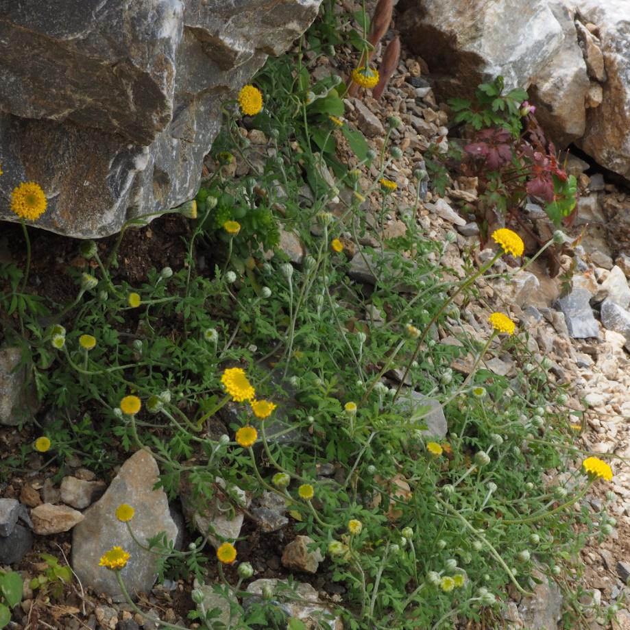 anthemis-tomentella-sentier-botanique-kavousi