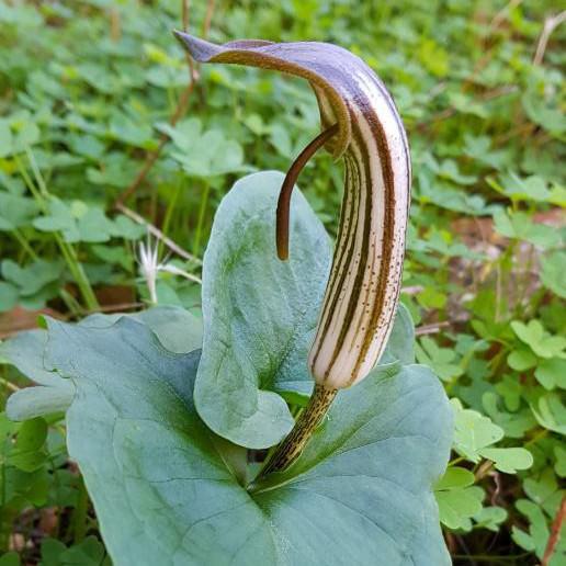 arisarum-vulgare-sentier-botanique-kavousi