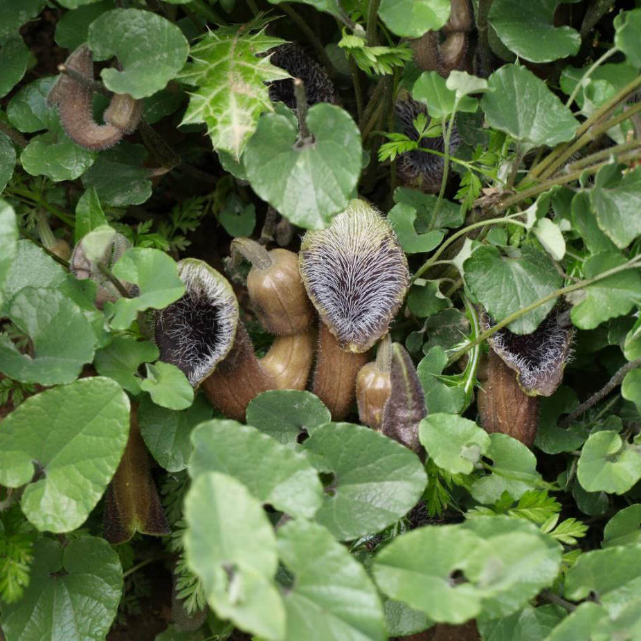 aristolochia-cretica-sentier-botanique-kavousi