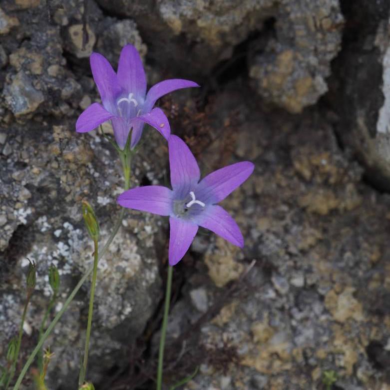 campanula-spatulata-sentier-botanique-alsace-crete