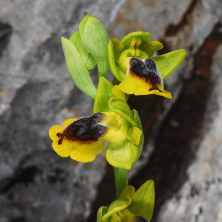 ophrys-phryganae