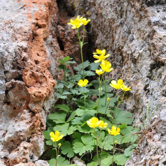 ranunculus-creticus
